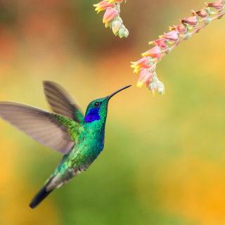 transition colibri